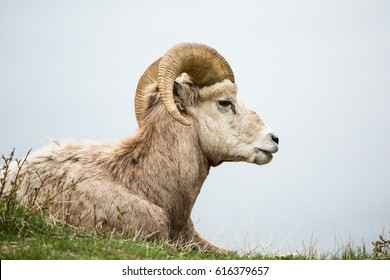 Male bighorn sheep laying in the grass and brush against grey neutral background