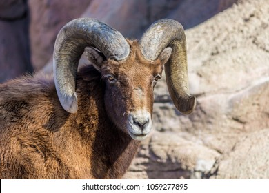 a male Bighorn Sheep with rocks surrounding it