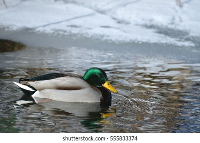 Male bird (drake) of wild duck (mallard) swims in the water in winter, snow and ice in background.