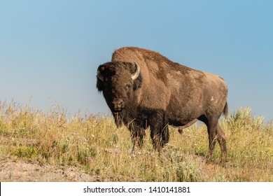 A male bison (Bison bison) at Hayden Valley in Yellowstone National Park, Wyoming, USA.