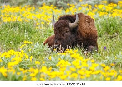 Male bison lying in the field with flowers, Yellowstone National Park, Wyoming, USA