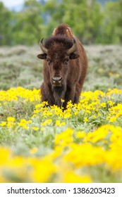 Male bison standing in the field with flowers, Yellowstone National Park, Wyoming, USA
