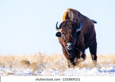 Male bison staring you down on a snow covered prairie in central Kansas.