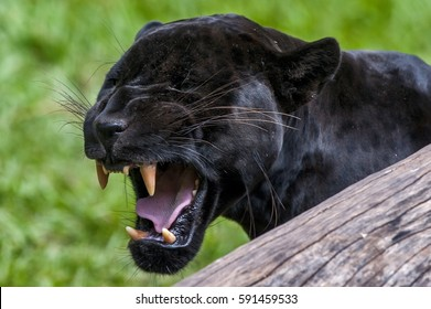 Male Black jaguar (Panthera onca), also called Panther, is a melanic variation of the jaguar. It's kind of carnivorous mammal of the Felidae family found in the Americas. Captive animal.