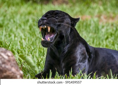 Male Black Jaguar (Panthera Onca), Also Called Panther, Is A Melanic  Variation