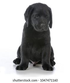 male black labrador retriever puppy sitting  on white background