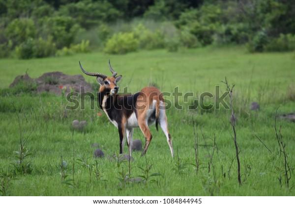 Male black lechwe zambia