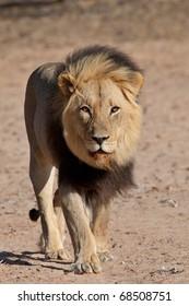 Male Black Maned Lion