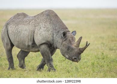 Male Black Rhino (Diceros bicornis) Ngorongoro Crater, Tanzania