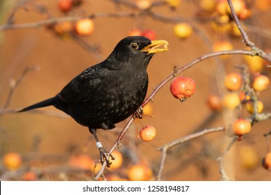 Male Blackbird feeding in a Crab Apple Tree on a cold sunny winter morning.
