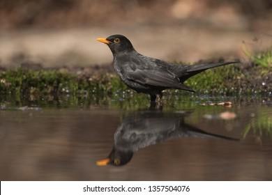 Male blackbird getting ready for a bath