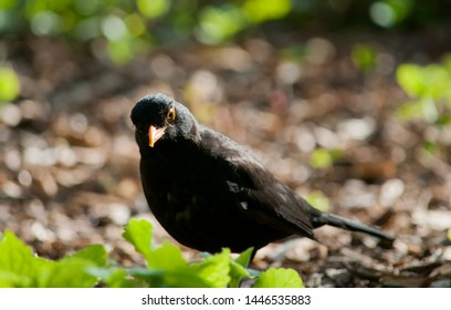 A male blackbird with a misaligned beak