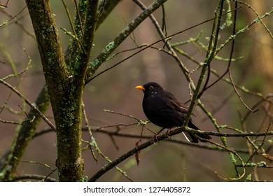 Male Blackbird Portrait