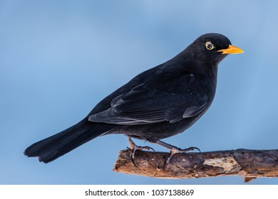 Male blackbird (Turdus merula) perching on a pine branch in profile with a snowy blue background