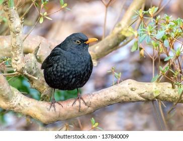 Male blackbird,tuldus merula, perching on a branch, standing upright