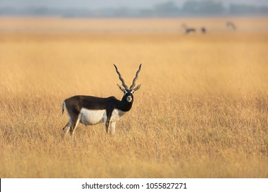 A male Blackbuck (Antilope cervicapra) also known as Indian Antelope, in a dry grassland setting, Gujarat, India