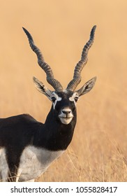 A male Blackbuck (Antilope cervicapra) also known as Indian Antelope, close up, against a blurred dry grassland background, Gujarat, India