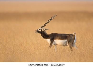 A male Blackbuck (Antilope cervicapra) also known as Indian Antelope, strutting through natural dry grassland, Gujarat, India