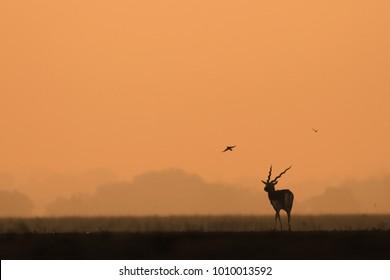 A male blackbuck during a sunrise in a winter morning. Tal Chappar, RJ, India