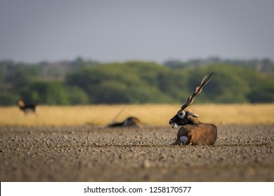 A male blackbuck resting in a green background and morning light at Tal Chhapar blackbuck sanctuary. This sanctuary also famous for raptors.