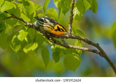 Male Blackburnian Warbler perched on a branch leaning out looking for a gnat. Tommy Thompson Park, Toronto, Ontario, Canada.