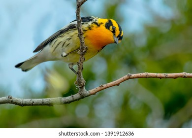 Male Blackburnian Warbler perched on a branch. Point Pelee National Park, Leamington, Ontario, Canada.