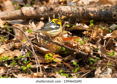 Male Blackburnian Warbler perched on a dead branch in the leaf litter on the ground. Taylor Creek Park, Toronto, Ontario, Canada.