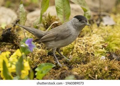 male blackcap in the grass in springtime