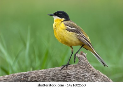 The male of the Black-headed Wagtail (Motacilla feldegg) in breeding plumage has velvet-black crown, lores, ear coverts, nape and sometimes for mantle.