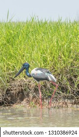 Male black-necked stork wading by the Corroboree Billabong's natural wetland grasses by the water's edge in the Northern Territory of Australia