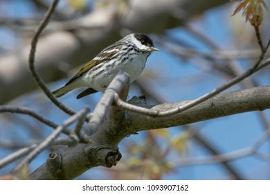 Male Blackpoll Warbler perched on a branch.Ashbridges Bay Park, Toronto, Ontario, Canada.