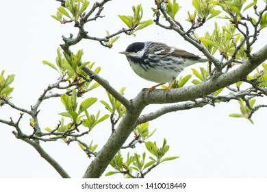 Male Blackpoll Warbler perched on a branch. Ashbridges Bay Park, Toronto, Ontario, Canada.