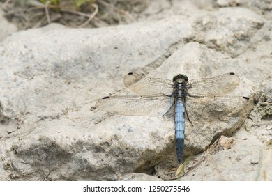 A male black-tailed skimmer (Orthetrum cancellatum) sitting on the ground