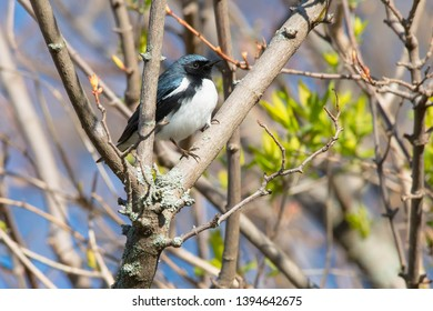 Male Black-throated Blue Warbler perched on a branch. Ashbridges Bay Park, Toronto, Ontario, Canada.