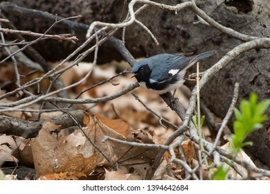 Male Black-throated Blue Warbler perched on a dead branch looking into the leaf litter on the forest floor. Taylor Creek Park, Toronto, Ontario, Canada.