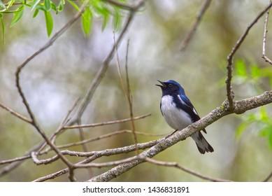 Male Black-throated Blue Warbler (Setophaga caerulescens) singing on a branch, southwestern Ontario, Canada.