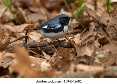Male Black-throated Blue Warbler standing in the leaf litter on the forest floor foraging for a meal. Taylor Creek Park, Toronto, Ontario, Canada.