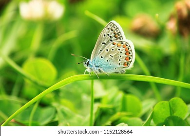 Male blue butterfly (Polyommatus icarus). The underside of the wings