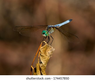 Male Blue Dasher dragonfly (Pachydiplax longipennis) perched on a dead leaf in Uvalde County in South Texas