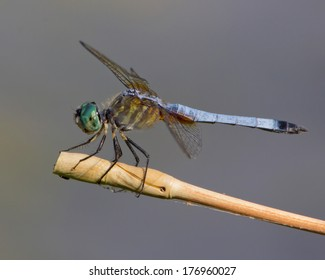 Male Blue Dasher dragonfly (Pachydiplax longipennis) perched on a stick in Uvalde County in South Texas