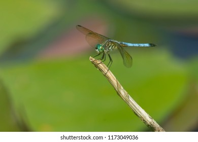 Male Blue Dasher Dragonfly perched on a dead stick.