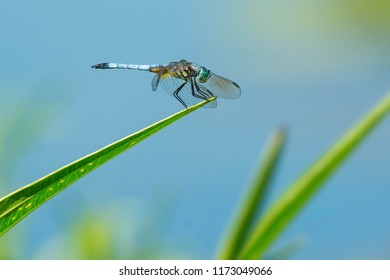 Male Blue Dasher Dragonfly perched on a blade of grass.