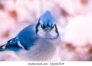 Male Blue Jay bird close up with soft focus snow in background.
