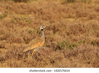 Male Blue Korhaan walking across dry wintery Karoo plains while foraging for insects and seeds, Eupodotis caerulescens.