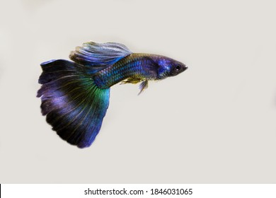 Male blue moscow guppy on white