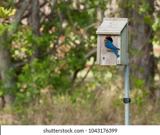 Male Bluebird inspecting a potential nesting site.