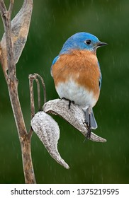 A male bluebird is perched on a milkweed pod while it's raining.