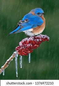 A male bluebird is perched on sumac during an ice storm.