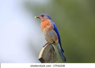 Male Bluebird perching holding green grub in beak.