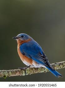 Male bluebird sitting on a branch